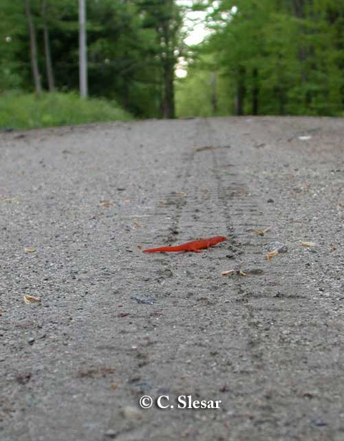 Newt on road in Vermont. Photo credit: C. Slesar.