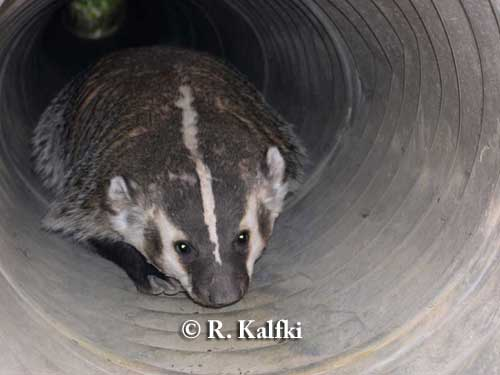 Badger using underpass tunnel in East Kootenay, British Columbia.