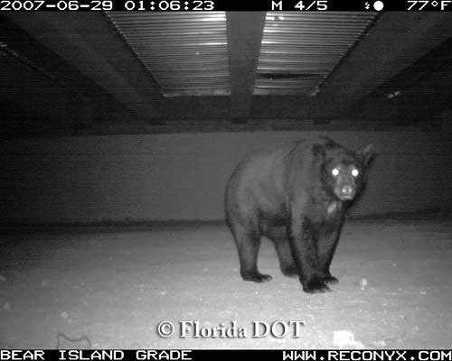 Florida black bear in underpass, South Florida.