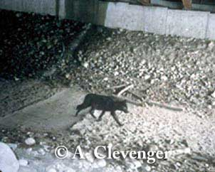 Wolf using large box culvert underpass, in Banff National Park, Alberta, Canada. Photo credit: T. Clevenger.