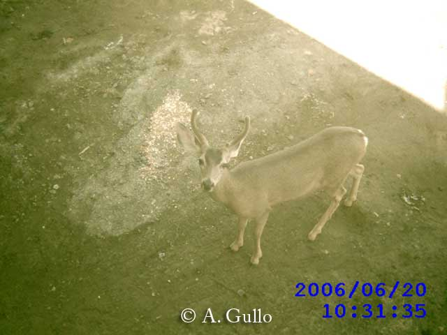 Mule deer using the Puente Hills Passage culvert in Los Angeles area, California
