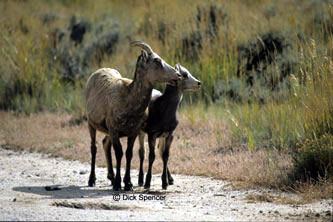 Bighorn ewe and lamb.