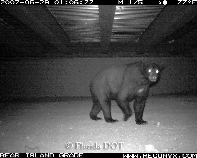 Florida black bear using box culvert passage, South Florida