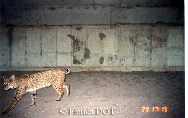Bobcat using box culvert passage in Florida