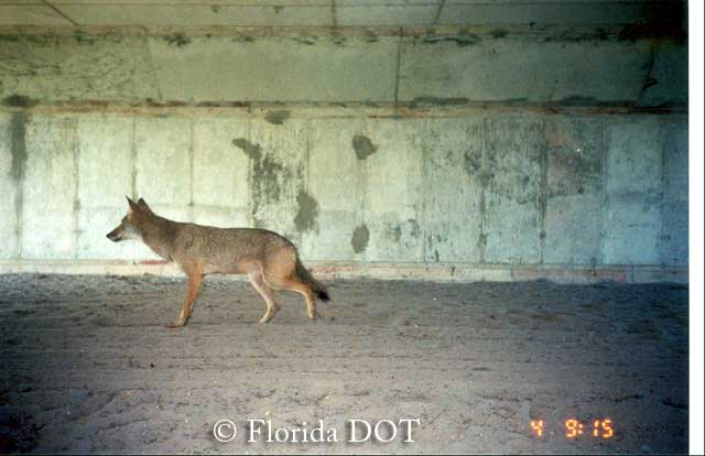 Grey Fox using box culvert passage in Florida