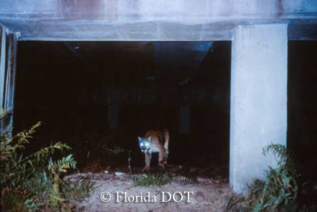 Florida panther using wildlife passage near Big Cypress, Florida
