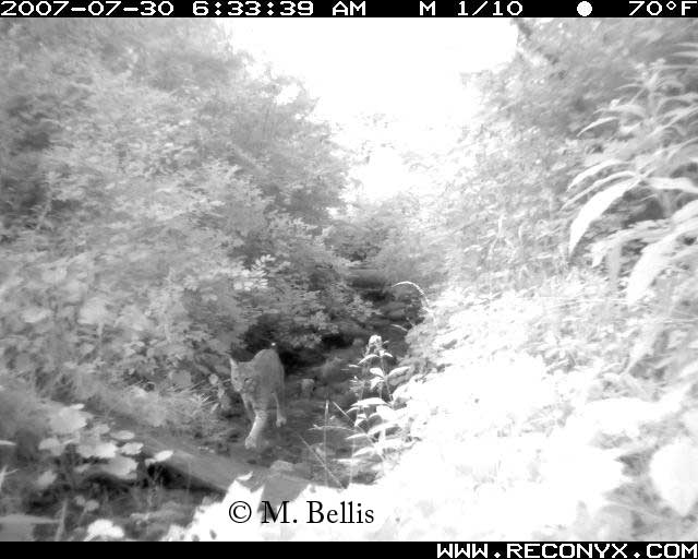 Bobcat using area under Vermont's Bennington Bypass wildlife crossing bridge
