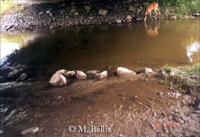 White-tailed deer using area under Vermont's Bennington Bypass wildlife crossing bridge.