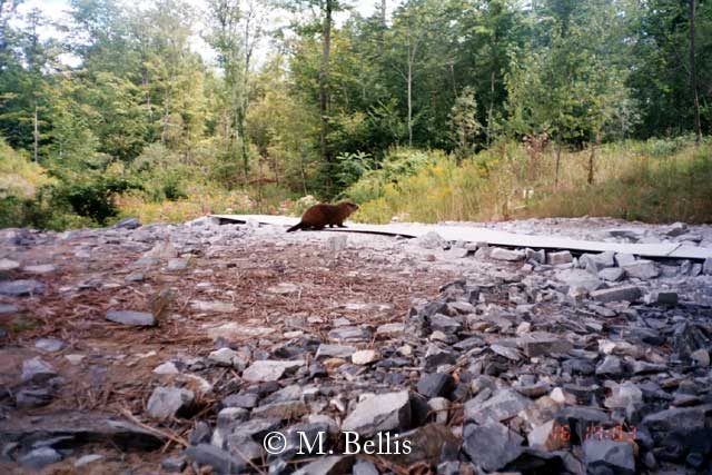 Woodchuck using area under Vermont's Bennington Bypass wildlife crossing bridge.