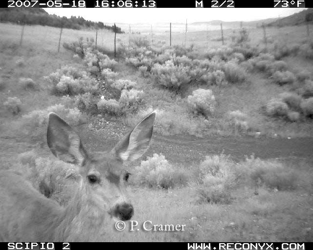 Mule deer fawn examining trail camera in median area of bridged underpasses along Utah's I-15.