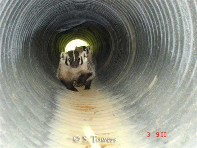 Two badgers using badger culvert British Columbia