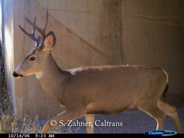 Mule Deer using wildlife passage box culvert in Northern California
